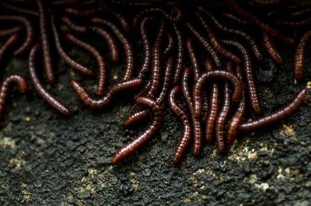 wigglers: closeup shot on red worms with wall background Stock Photo