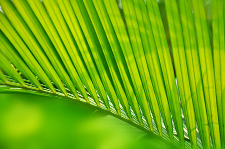 cycadaceae: closeup shot on palm leaf with green background