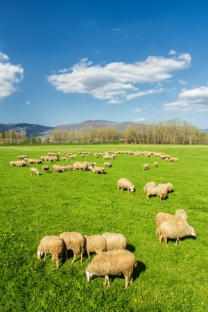 flock: A flock of sheep in the Tuscan countryside  Italy  is grazing in the warm spring sunshine  Stock Photo