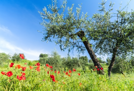 Red flowers and olive tree at spring photo