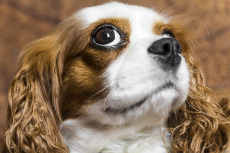 The sweetest dog Cavalier King. A wonderful companion dog, squinty eyes give it a fun and special look. photo