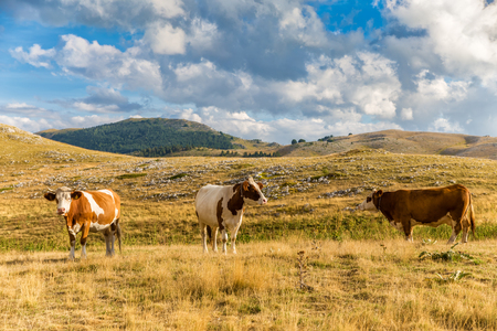 Cows grazing on the plateau of Campo Imperatore in the Abruzzo (Italy). A place at about 1600 meters high that for its beauty is often used as a location for film productions
