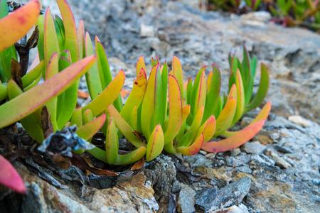 Closeup of Sea Fig Iceplant leaves growing on rocks
