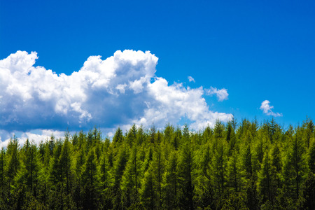 coniferous tree: Fir forest against blue sky in the French Pyrenees Stock Photo