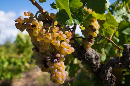 Closeup of white grapes in a wineyard on a sunny afternoon Stock Photo