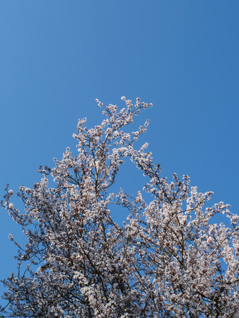 Vertical view of Blooming Cherry Tree branches against blue sky 版權商用圖片