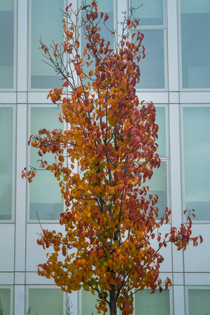 Closeup of a single tree in front of a modern office building in fall 版權商用圖片