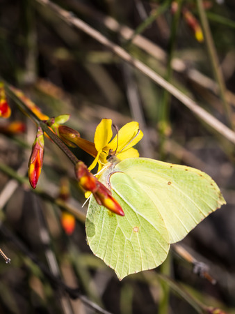 Common Brimstone on a forsythia flower in early spring in Georgia, Caucasus  photo