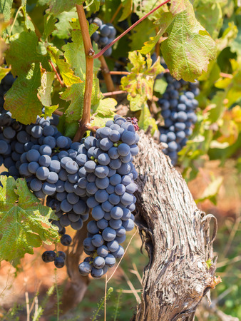 Red grapes in vineyards in the wine region near Cape Town and Franschhoek in South Africa. Stock Photo
