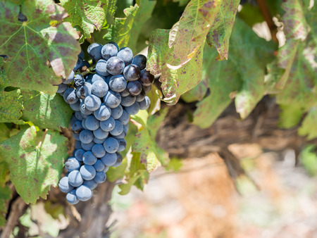 Grapes in vineyards in the wine region near Cape Town and Franschhoek in South Africa.