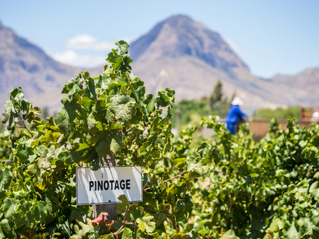 Vineyards in the wine region near Cape Town and Franschhoek, south Africa. Imagens - 37140396