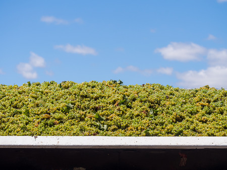 wineries: Harvested white grapes in on of the wineries in Wester Cape, South Africa. Stock Photo