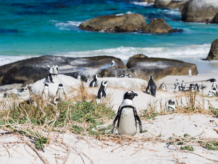 Colony of African penguins, also known as jackass penguins or black-footed penguins, on Boulders beach in in Simons Town, South Africa, in February. One penguin in focus. Landscape orientation, blue sky in the background.