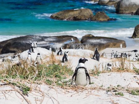 Kolonie van Afrikaanse pinguïns, ook bekend als jackass pinguïns of zwart-footed pinguïns, op het strand Keien in in Simon's Town, Zuid-Afrika, in februari. Een pinguïn in focus. Liggend, blauwe lucht op de achtergrond. Stockfoto