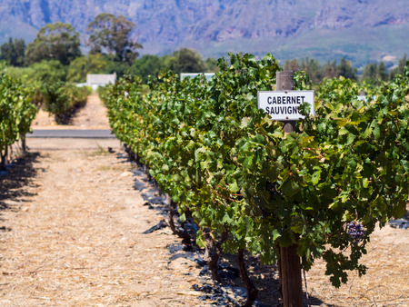 cabernet sauvignon: Vineyards in Western Cape, close to Franschhoek, South Africa. Stock Photo