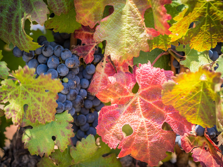 Red grapes and colorful leaves of vine