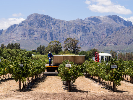 Horizontal photo of vineyards in Winelands in Western Cape, close to Franschhoek, South Africa, at harvest. Mountains and blue sky in the background. Imagens