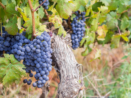 Bunches of rape cabernet sauvignon grapes growing in one of the vineyards in Western Cape, close to Franschhoek, South Africa. Landscape orientation.