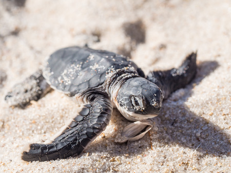 baby turtle: Small green sea turtle Chelonia mydas