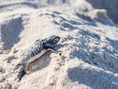 schildkr�te: Kleine gr�ne Meeresschildkr�te Chelonia Mydas, auch als schwarze Meeresschildkr�te oder Pacific gr�ne Schildkr�te auf seinem Weg an einem Strand in Tansania, Afrika, kurz nach dem Schl�pfen aus seinem Ei bekannt, dass das Meer.