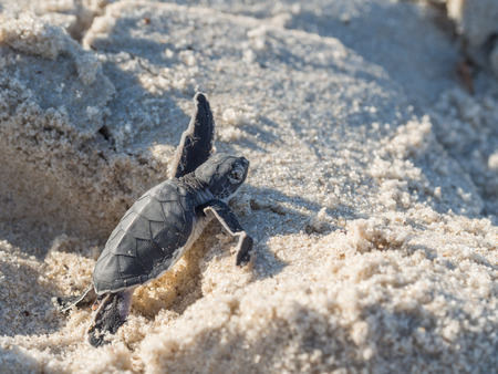 Small green sea turtle Chelonia mydas, also known as black sea turtle, or Pacific green turtle on his way to the sea on a beach in Tanzania, Africa, shortly after hatching from his egg.
