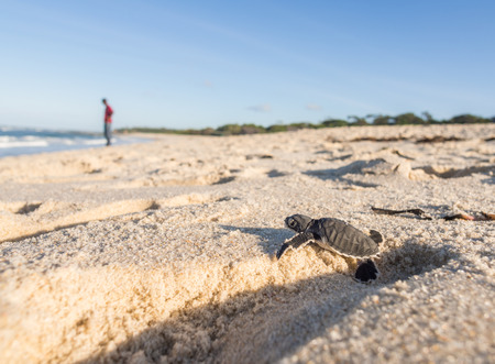 Small green sea turtle Chelonia mydas, also known as black sea turtle, trying to get out of a human footprint on his way to the sea on a beach in Tanzania, Africa, shortly after hatching from his egg.