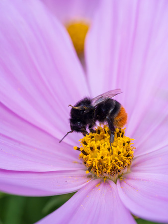 bombus: Worker of a red-tailed bumblebee (bombus lapidarius) in a pink daisy flower with a yellow middle.