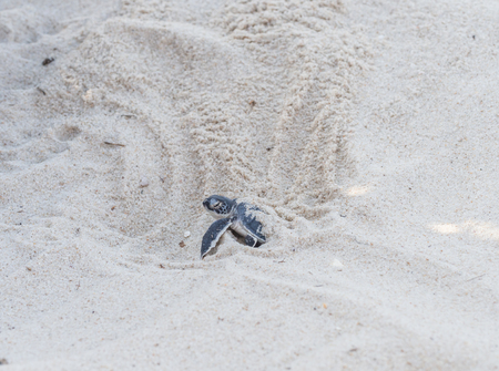 chelonia: Small green sea turtle Chelonia mydas, also known as black sea turtle hatching and leaving its nest on Kutani beach in Tanzania, Africa.