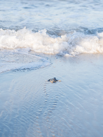 chelonia: Small green sea turtle Chelonia mydas, also known as black sea turtle, or Pacific green turtle on his way to the sea on a beach in Tanzania, Africa, shortly after hatching from his egg.