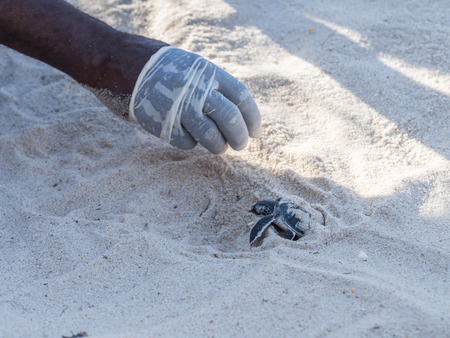 green sea turtle: Small green sea turtle Chelonia mydas, also known as black sea turtle hatching and leaving its nest on Kutani beach in Tanzania, Africa. Local voluntary worker helps the turtle. Stock Photo