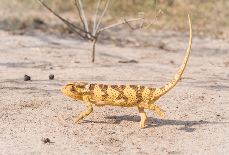 africa chameleon: Yellow and brown wild chameleon walking on a dry ground in Tanzania, Africa Horizontal photo.
