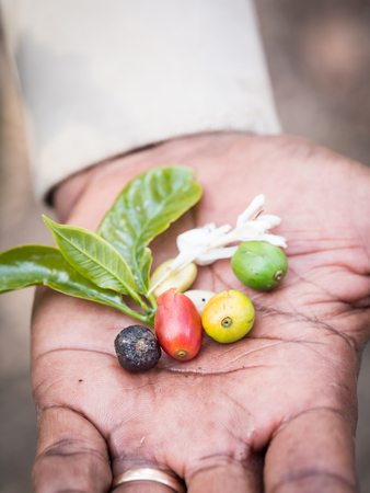 african coffee: Four stages of a coffee cherry green, yellow, red and black along with fresh coffee bean, flower and leaves held by a guide on a plantation in Arusha Region, Tanzania, Africa.