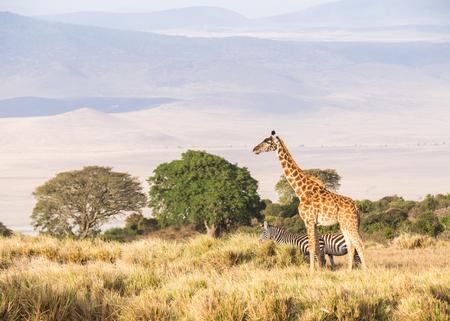 giraffe: Giraffe and zebras on the rim of the Ngorongoro Crater in Tanzania, Africa, at sunset.