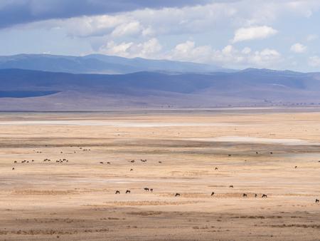 tanzania antelope: Herd of blue wildebeests in Ngorongoro Crater in Tanzania, Africa. Stock Photo