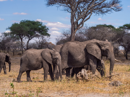 tusk: Herd of elephants in Tarangire National Park in Tanzania, Africa. Mother with one tusk and a baby in the focus.