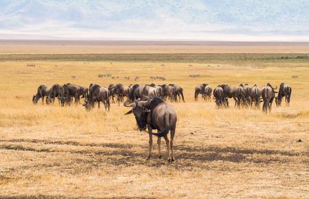 tanzania antelope: Blue wildebeests in Ngorongoro Crater in Tanzania, Africa.
