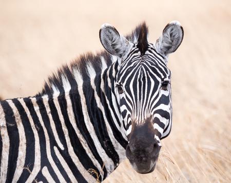 cebra: quagga Cebra común Equus, también conocida como la cebra común o cebra de Burchell en el cráter de Ngorongoro en Tanzania, África.