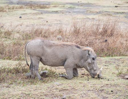 eating area: Common warthog in Ngorongoro Crater in Tanzania, East Africa, feeding.
