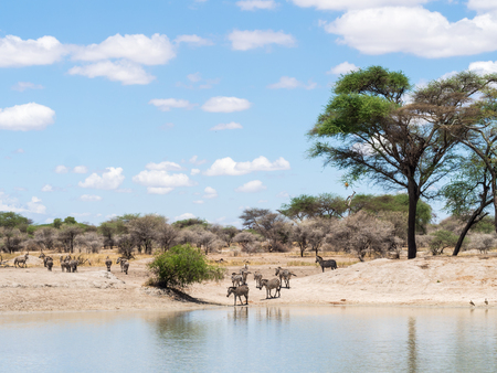 zebra head: Plains Zebra Equus quagga, also known as the common zebra or Burchells zebra drinking water  in Tarangire in Tanzania, Africa.