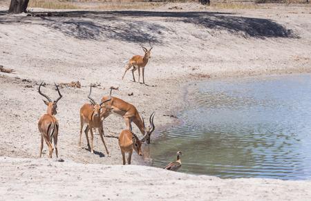 tanzania antelope: Impala Aepyceros melampus drinking water  in Tarangire in Tanzania, Africa.