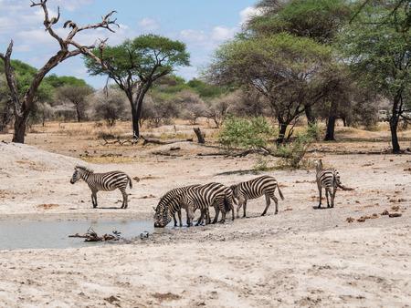 zebra: Plains Zebra Equus quagga, also known as the common zebra or Burchells zebra drinking water  in Tarangire in Tanzania, Africa.