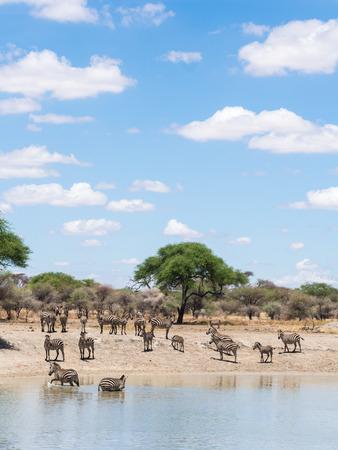 zebra: quagga Cebra común Equus, también conocida como la cebra común o el agua potable de la cebra de Burchell en Tarangire en Tanzania, África.