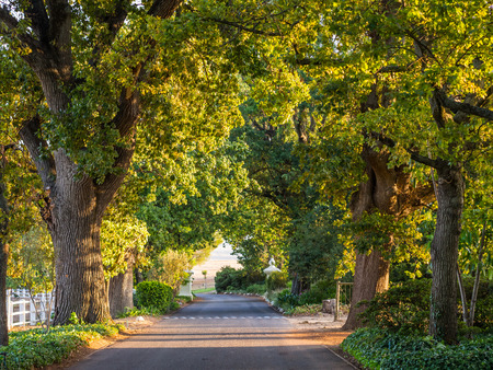 south africa nature: Old oak tree lane in sunset light, Stellenbosch, Western Cape, South Africa. Stock Photo