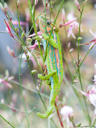 africa chameleon: Colorful chameleon on a flower in South Africa.