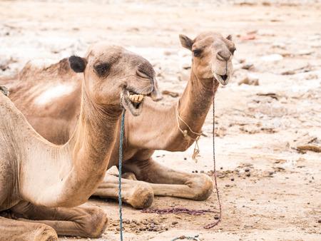 Dromedary camels used to transport amole-salt slabs across the desert in the Danakil Depression in Afar region, Ethiopia. Stock Photo