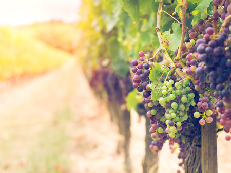 sauvignon: Bunches of cabernet sauvignon grapes growing in a vineyard in Bordeaux region, France. Stock Photo