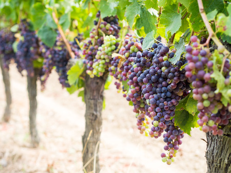 Bunches of cabernet sauvignon grapes growing in a vineyard in Bordeaux region, France.