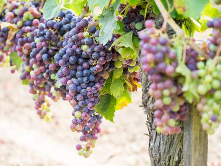 bordeaux region: Bunches of cabernet sauvignon grapes growing in a vineyard in Bordeaux region, France. Stock Photo