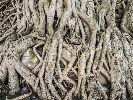 enclosure: Roots of trees growing on the wall of Fasilidas pool enclosure in Gondar, Ethiopia.