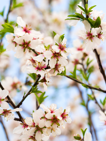 sky brunch: Flowering sweet almond tree in Alentejo, Portugal.